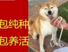青岛哪里出售(柴犬)保纯保健康疫苗驱虫均已做完