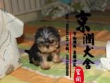 北京纯种约克夏幼犬多少钱一只