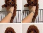 聪明活泼泰迪犬是卷毛小型犬,很纯种也很微小微小的