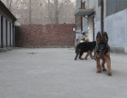 德国牧羊犬幼犬多少钱 纯种垂系牧羊犬繁殖基地