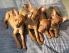 西安精品宠物繁殖基地长期出售小鹿幼犬 保证品质健康