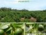 海南特产热带青金桔原粉 果蔬粉