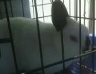 喜马拉雅侏儒兔两只