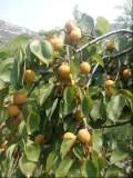 杏树苗-河北省去哪买杏树苗