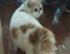 转让加菲猫三岁成母