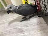 特价转让人工繁殖非洲灰鹦鹉 刚果灰机 会说话的鸟