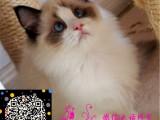 猫舍直销布偶猫 金吉拉 波斯猫 加菲 折耳猫 短毛猫 暹罗猫