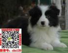 上海嘉定边境牧羊犬价格 上海嘉定边境牧羊犬多少钱一只