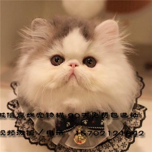 自家繁殖高品质CFA纯种波斯猫健康品质有保证