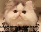 家庭式貓舍正規繁育的純種波斯貓疫苗已做保健康