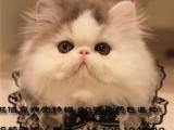 猫舍出售波斯猫宝宝包终身纯种包健康