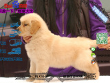 哪一家宠物店卖纯种健康的金毛犬多少钱一只