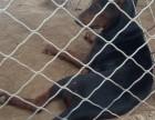 莱州红犬幼犬出售