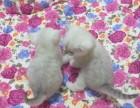 出售纯种 渐层猫 北京专业世界名猫繁殖基地质保三年
