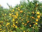 湖南省怀化市芷江县大量供应各种柑橘种类