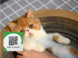 昆明哪里卖加菲猫 加菲猫价格 加菲猫哪里有卖