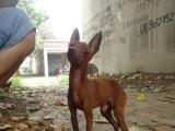 小鹿犬身高23对外配狗 另有卡斯罗公狗黑狼公狗对外配狗