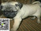在哪里买纯种的巴哥幼犬 巴哥幼犬最低多少钱