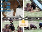 本地大型犬舍繁殖杜宾幼犬包纯种包健康