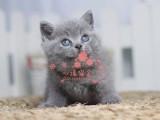 南宁哪里有卖蓝猫幼崽 南宁最便宜蓝猫多少钱一只保健康
