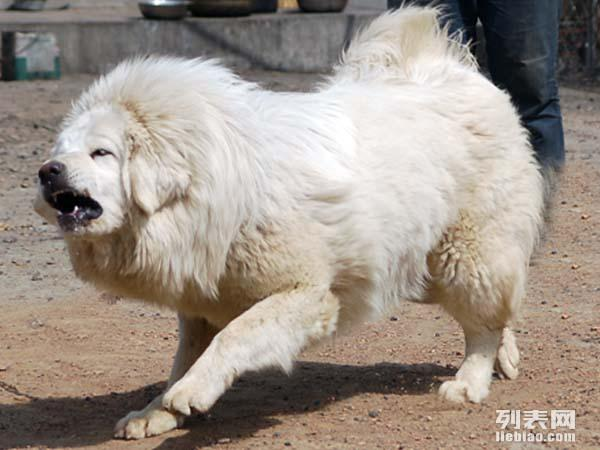 藏獒价格 藏獒多少钱一只 藏獒图片 出售藏獒幼犬 小藏獒图片