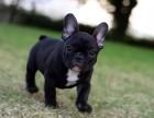 法牛是较有型的狗.是机智勇敢的小警察.憨厚可爱