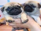 自家养的双血统八哥犬一窝小狗待售 欢迎上门挑选