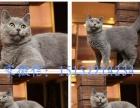 猫叔名猫宛--精品蓝猫渐层美短出售-无病无癣包健康
