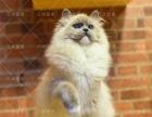 家庭猫舍繁殖布偶猫双色山猫纹包纯种健康