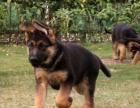 西安,出售纯种马犬,杜高犬,比特犬,德牧犬等名犬。