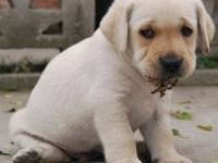 深圳拉布拉多幼犬价格奶白色黄色纯种神犬小七拉布拉多幼犬价格