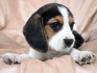 石家庄本地犬舍繁殖精品,,比格,博美,拉布拉多,等多品种