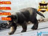 出售纯种古牧犬,三个月左右,包健康