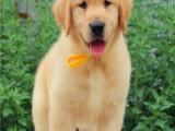 保定市区实体店 出售各种宠物狗确保纯种健康