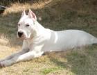 哪里卖的杜高犬便宜 杜高犬价格