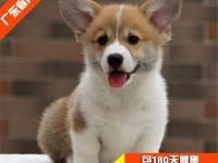 深圳哪里有卖柯基犬 柯基犬价位 柯基犬多少钱一只