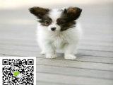 在哪里买纯种的蝴蝶幼犬 蝴蝶幼犬最低多少钱