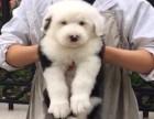 上海什么地方有狗场卖古牧/哪里有卖古牧犬