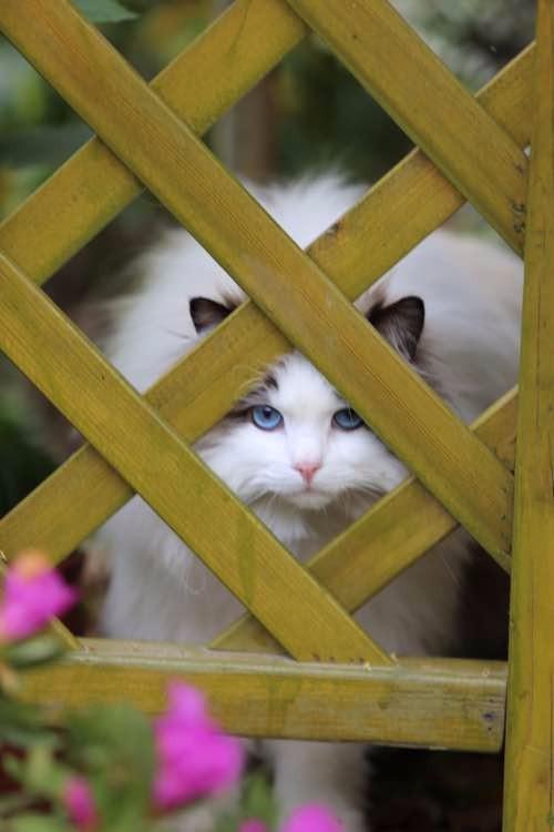 烟台哪里有布偶猫卖 海豹双色 重点手套均有CFA认可多只可挑