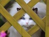 苏州哪里有布偶猫卖 海豹双色 重点手套均有CFA认可多只可挑