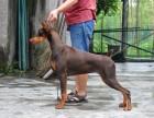 出售纯种杜宾猎犬幼犬/德系/美系/专业繁殖犬舍/包纯种健康