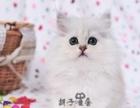 金吉拉幼猫 金吉拉猫纯种家养幼猫长毛猫纯种金吉拉