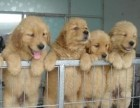 福州本地犬舍出售精品大骨架金毛犬包纯包健康送货上门