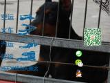 纯种健康的杜宾犬多少钱一只在哪能买到