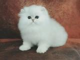 金吉拉幼猫金吉拉猫纯白拿破仑矮脚猫拿破仑猫银点银渐层猫咪活物
