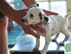 斑点狗幼犬,斑点狗多少钱一只