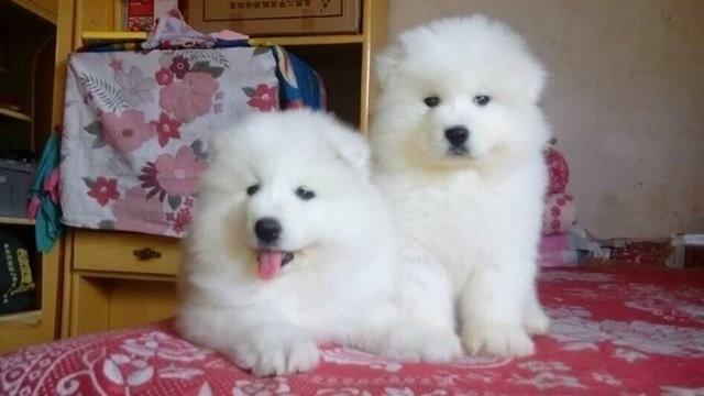狗场专业繁殖 泰迪 比熊 巴哥 柯基 博美 德牧等热卖宠物狗