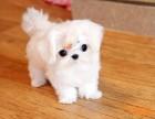 精品高品质萌宠超可爱马尔济斯幼犬北京马尔济斯多少钱