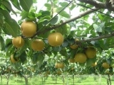 梨树苗批发 河南梨树苗品种 耐旱抗病黄金梨树苗