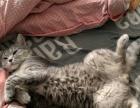 美国短毛40天3只小母求抱走650
